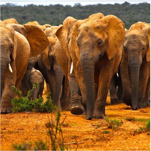 ACC_US_elephants3