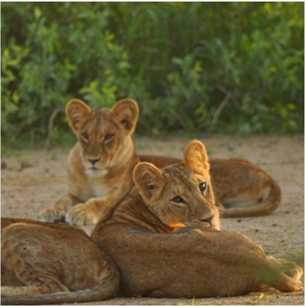 ACC_US_lions2