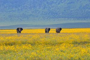 Elephants_roaming