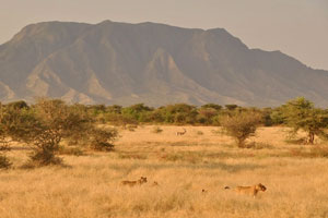 Tanzania_Lions_Bill_Yancey