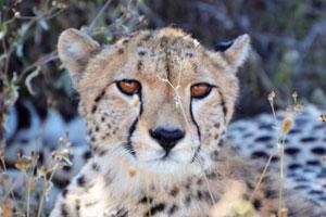 ACC Kenya Conservation Safari - Leapord