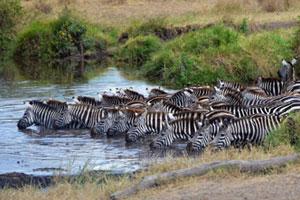ACC Kenya Conservation Safari Zebras