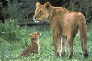 ACC Kenya Safari, Magadi, Lion Conservation