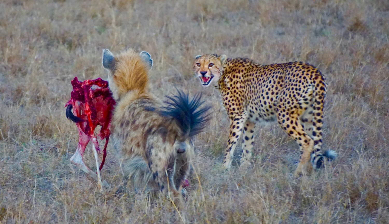 2-Cheetah&Hyena-JC