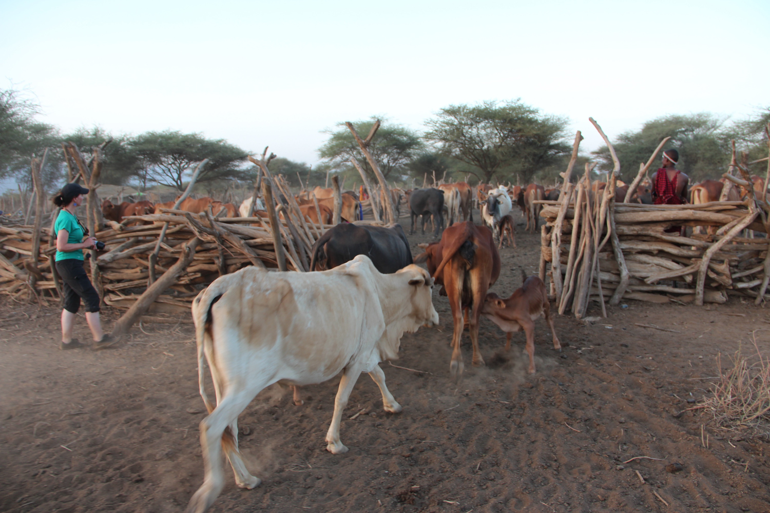 9-Cattle into Boma-JM