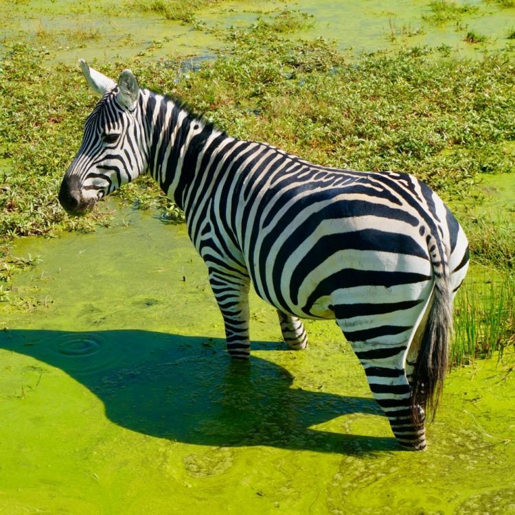 15-Zebra-Green-MN