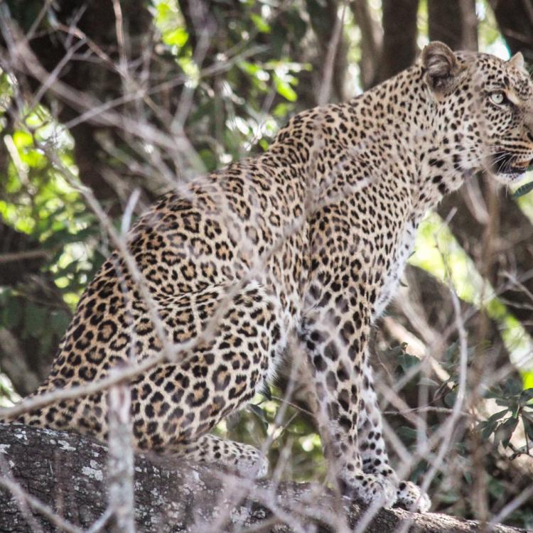 22-Leopard-JM