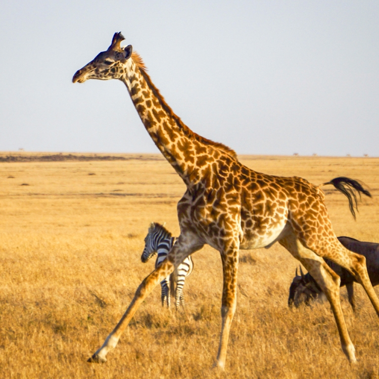 8-Running Giraffe-LF
